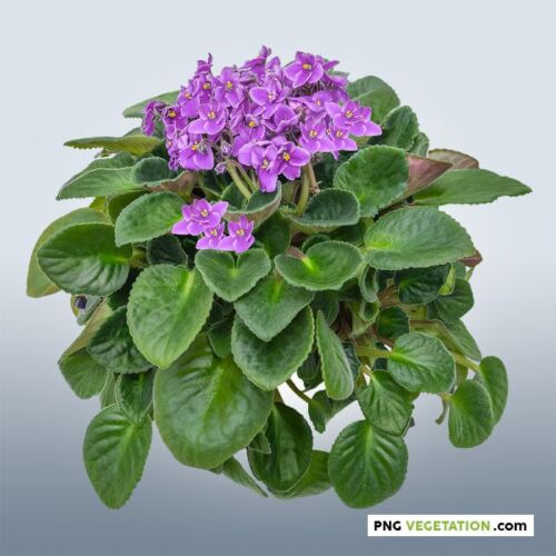 Cutout flower_African violet