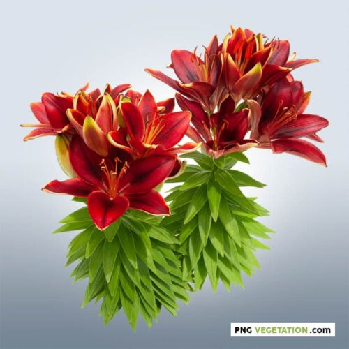 red lilies png