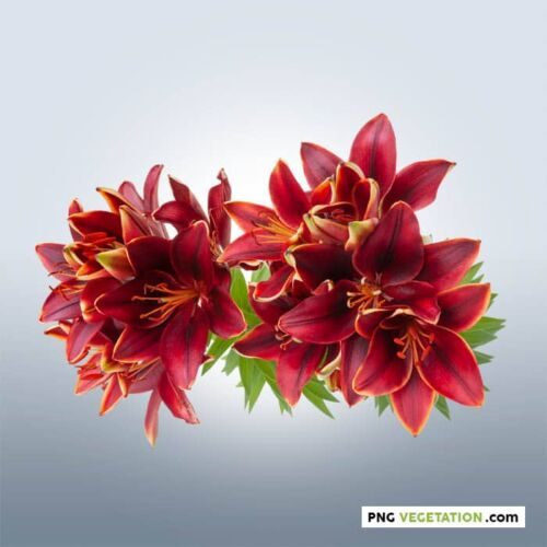 png lily flowers