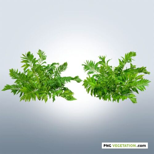 Cut out png plant fern