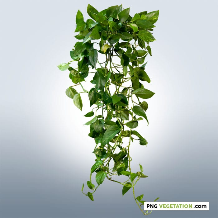 Cut out climbing plant in summer