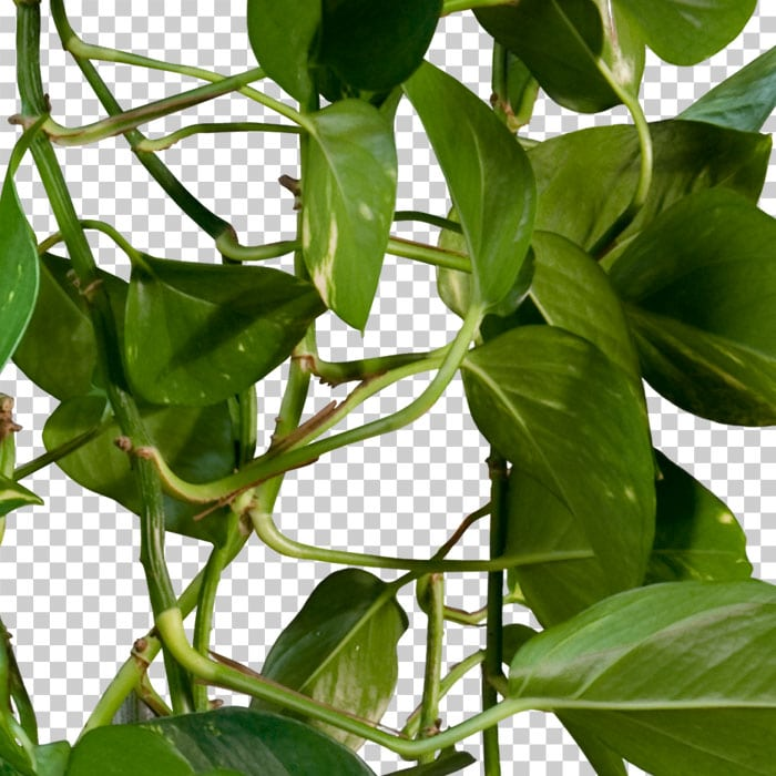 Detail of cut out climbing plant in summer