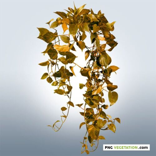 Cut out climbing plant in autumn