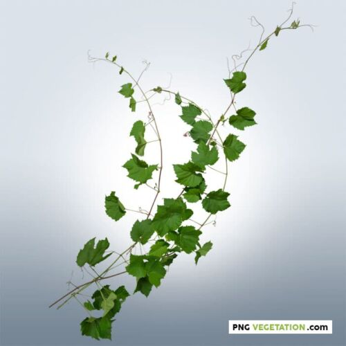 Cutout Ivy Plant in summer