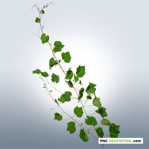 Cut out Ivy Plant in summer