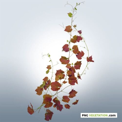 Cut-out Ivy Plant in Autumn