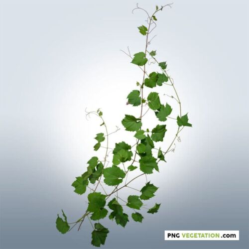 Cut-out Ivy Plant in summer