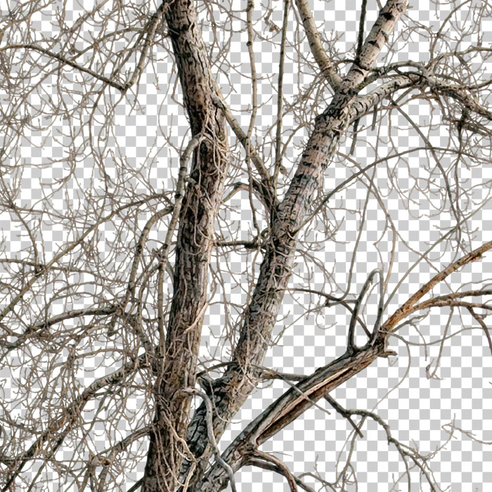 cut out branches. Bare tree in winter