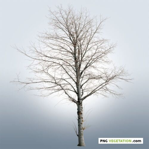 cutout bare tree. Dead tree PNG