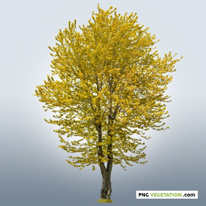 png yellow tree in autumn