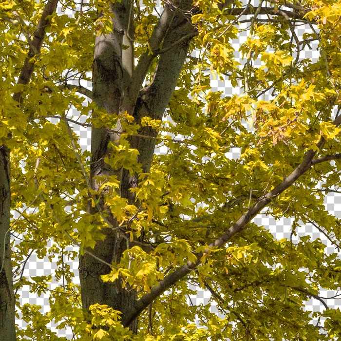 yellow foliage in autumn. png tree