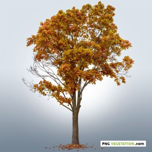 png deciduous tree in autumn