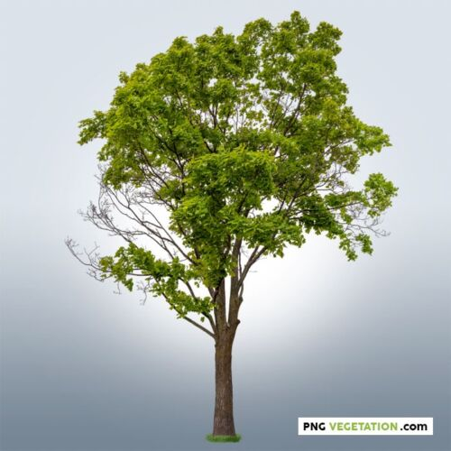 cutout green tree-png mapple
