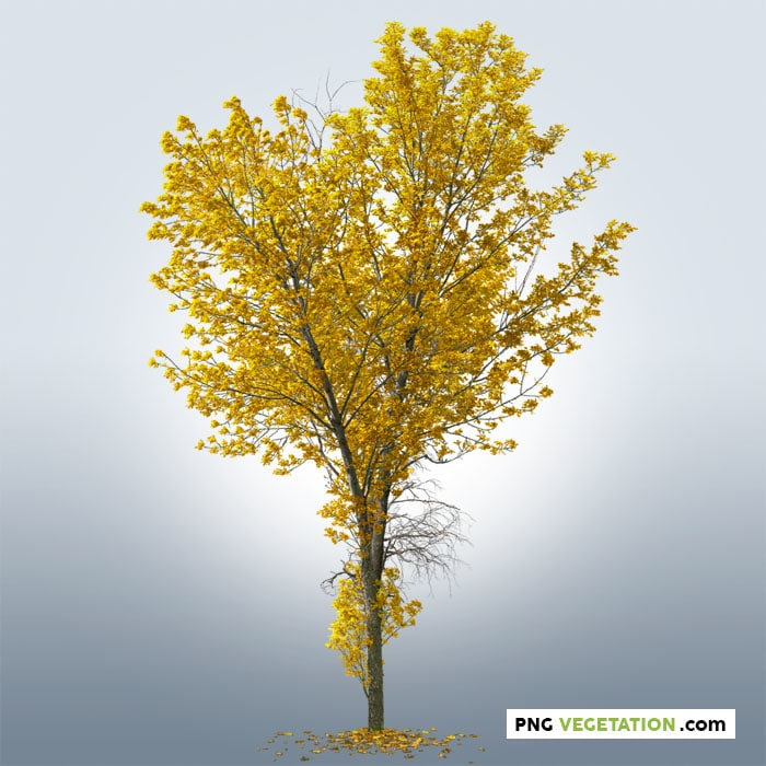 png tree in autumn