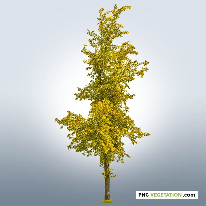 png tree with yellow foliage