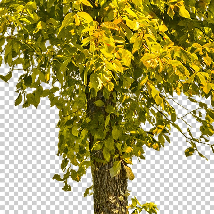 tree in autumn. detail of cut out foliage