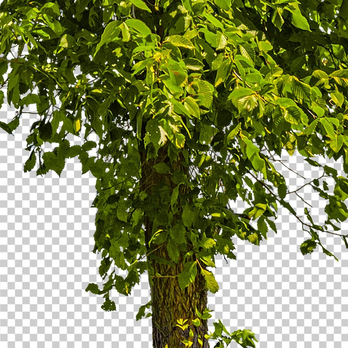 detail of cutout foliage. png tree in summer