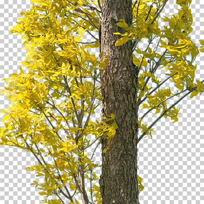 cutout yellow foliage. png tree in autumn