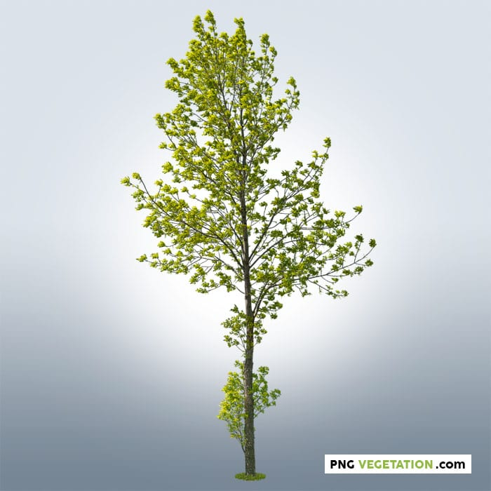 cutout deciduous tree in summer- png ash tree
