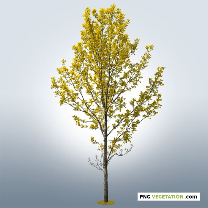 png ash tree. Cutout tree with yellow foliage