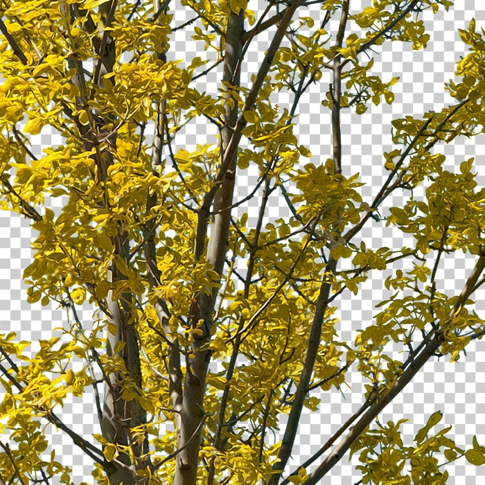 yellow foliage of png tree in autumn