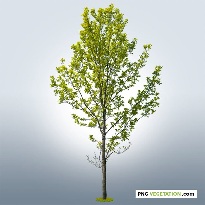 deciduous. Green tree in png format