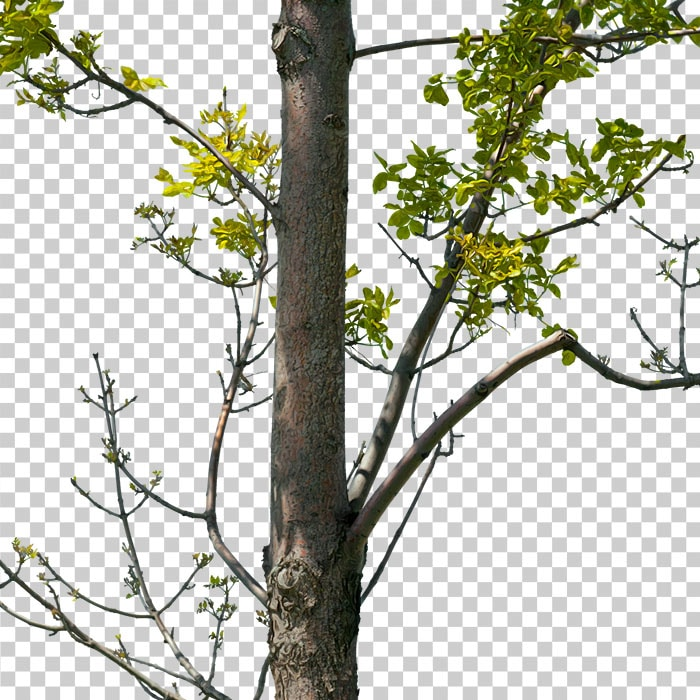 detail of branches. png tree in summer