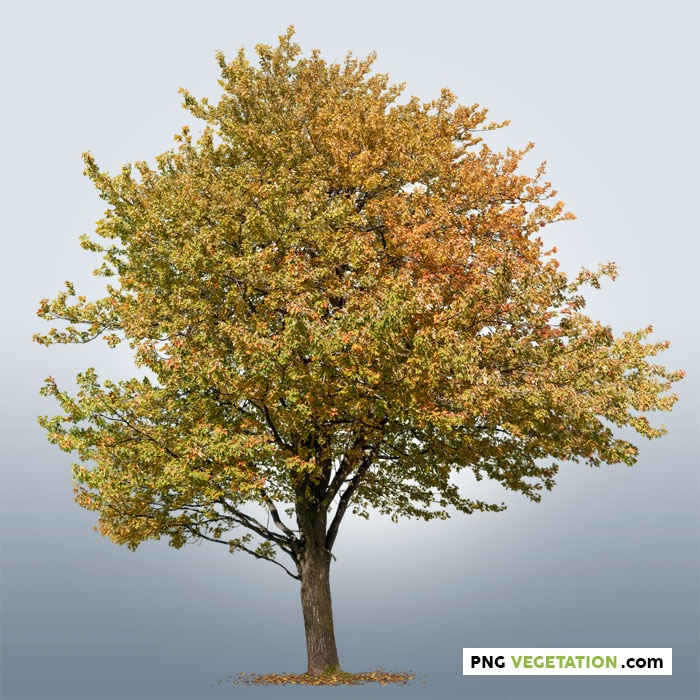 colorful png tree in autumn. Maple PNG