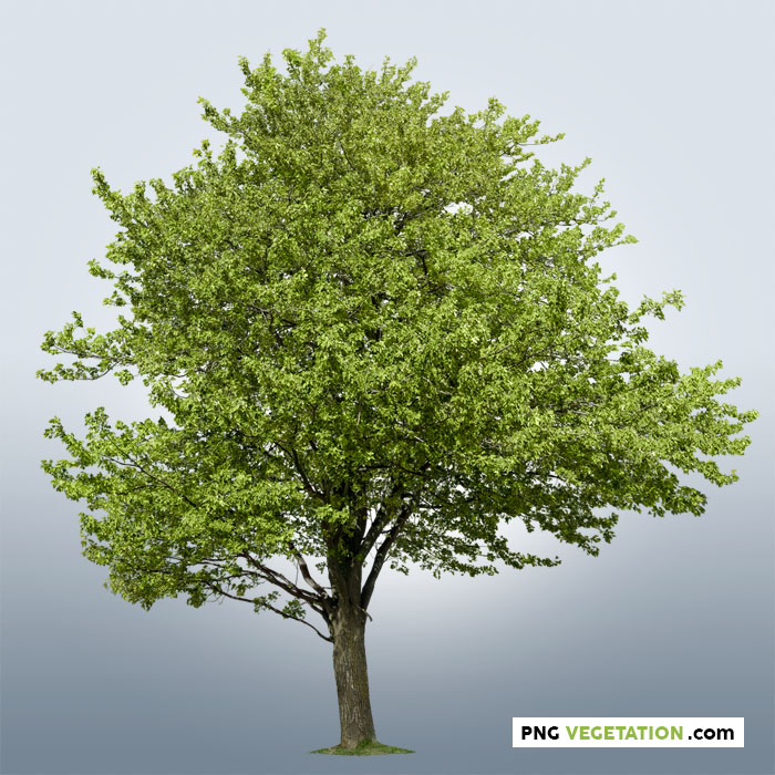 png green tree in summer. Cutout mapleDeciduous tree