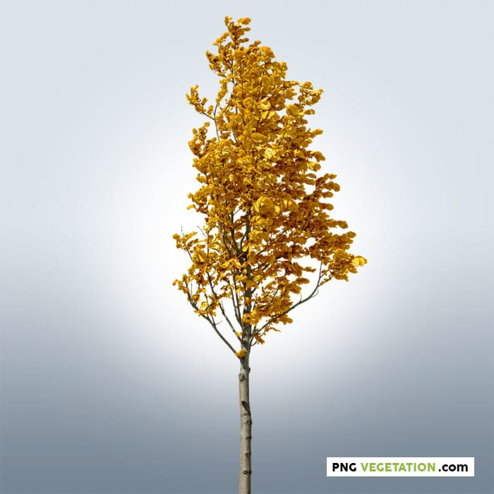 cutout small tree in autumn. Deciduous tree