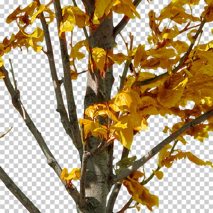 detail of png tree with orange leaves