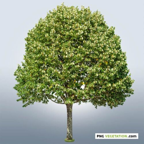 Cutout linden tree in png format