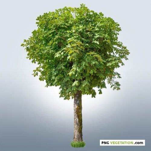 png horse chestnut tree