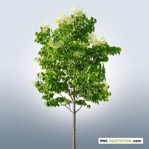 png lilac tree