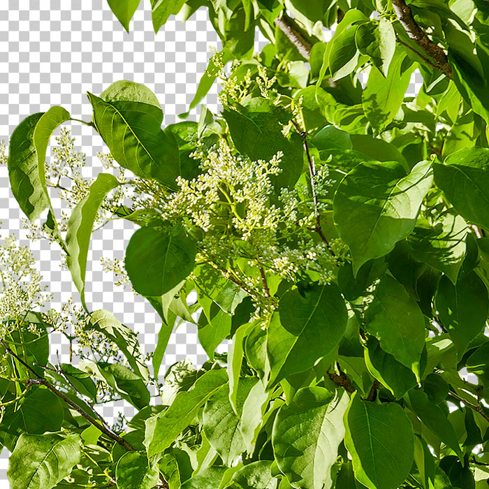 cutout foliage and flower of lilac tree