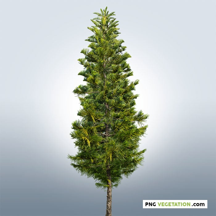 Pine tree PNG. Conifer png