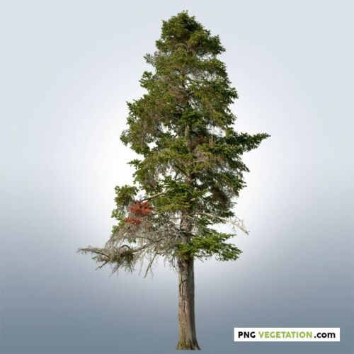 cutout conifer. Pine tree PNG