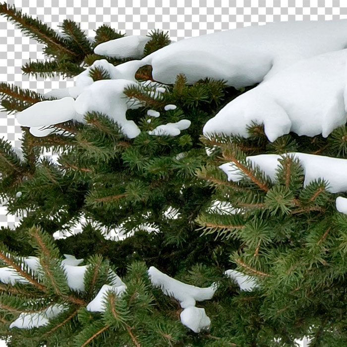 detail of png pine tree covered with snow
