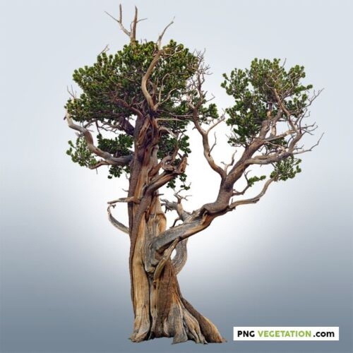 cutout old tree. png bristelcone pine