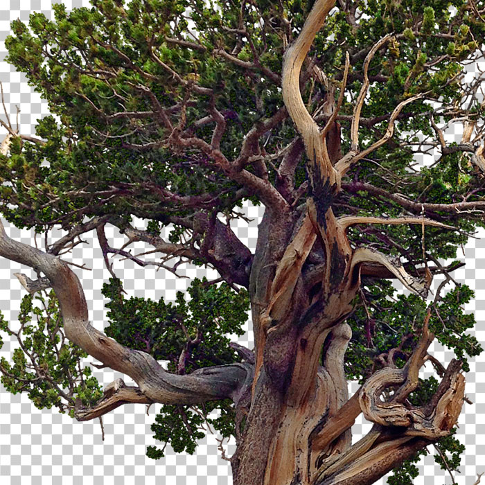 detail of png bristelcone pine