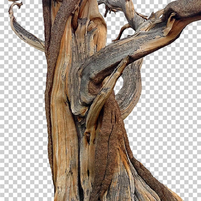 detail of cutout bristelcone pine