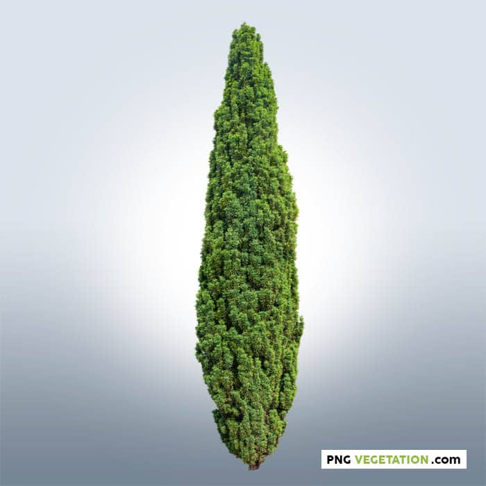 png conifer
