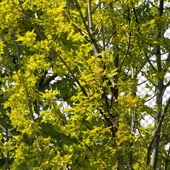 detail of png trees. Deciduous green forest in summer