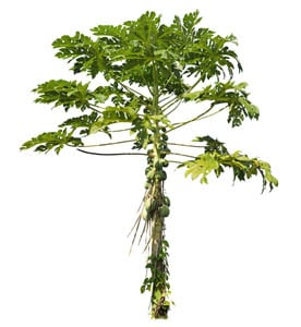 free png Tree - png plants from PNG VEGETATION